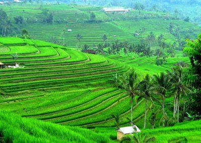 Adventure Asia Travel Jatiluwih rice paddies